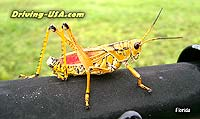 Grashopper (very close)