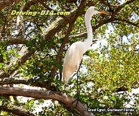 Great Egret at Mangrove Tree