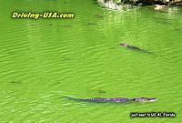 Alligators at a green pool